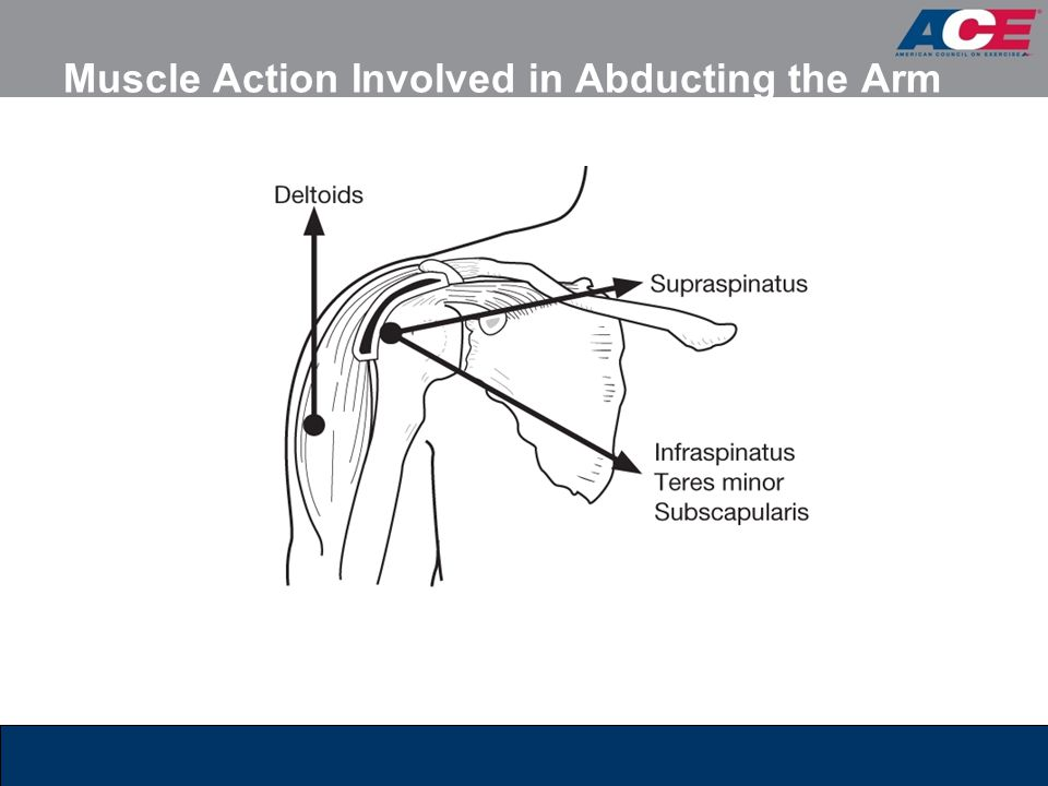 Muscle Action Involved in Abducting the Arm