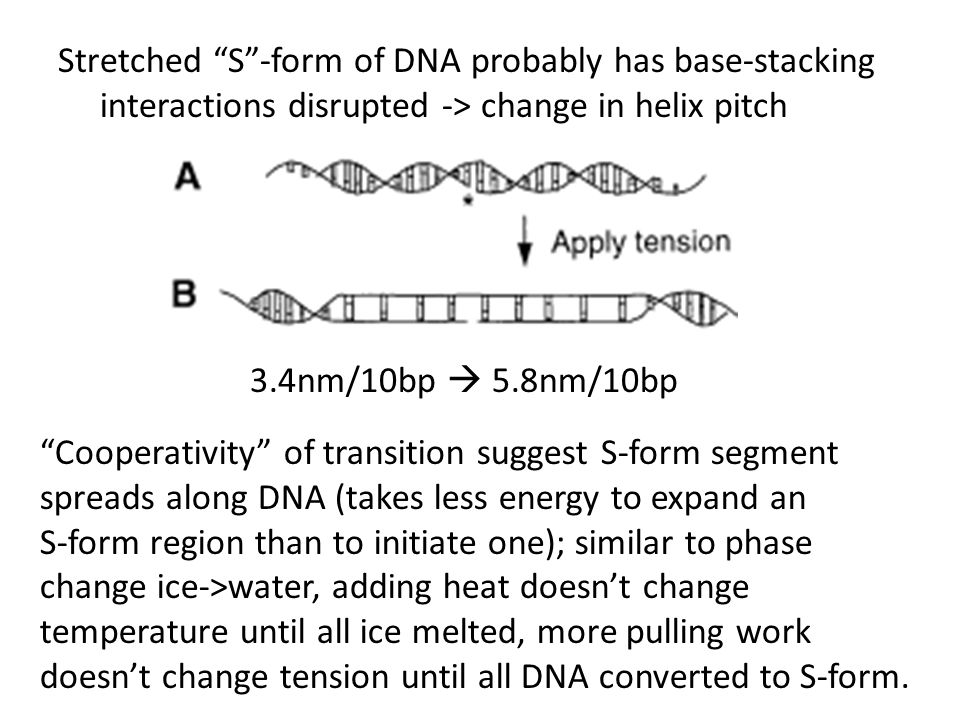Stretched S -form of DNA probably has base-stacking interactions disrupted -> change in helix pitch 3.4nm/10bp  5.8nm/10bp Cooperativity of transition suggest S-form segment spreads along DNA (takes less energy to expand an S-form region than to initiate one); similar to phase change ice->water, adding heat doesn't change temperature until all ice melted, more pulling work doesn't change tension until all DNA converted to S-form.