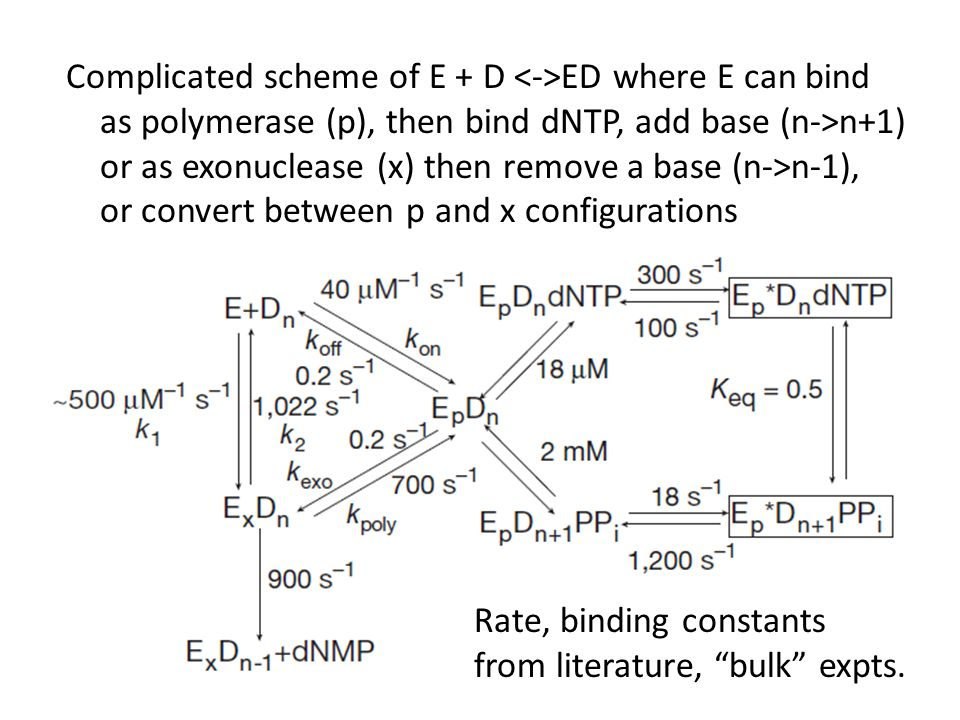 Complicated scheme of E + D ED where E can bind as polymerase (p), then bind dNTP, add base (n->n+1) or as exonuclease (x) then remove a base (n->n-1), or convert between p and x configurations Rate, binding constants from literature, bulk expts.