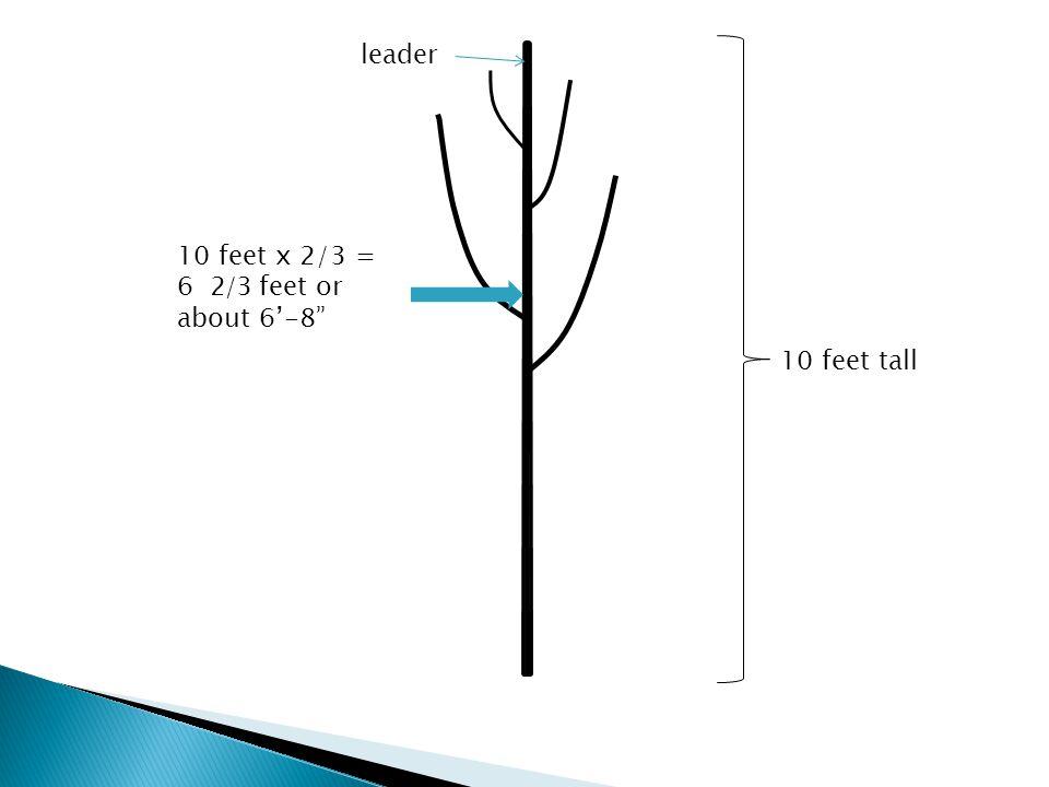 10 feet tall 10 feet x 2/3 = 6 2/3 feet or about 6'-8 leader