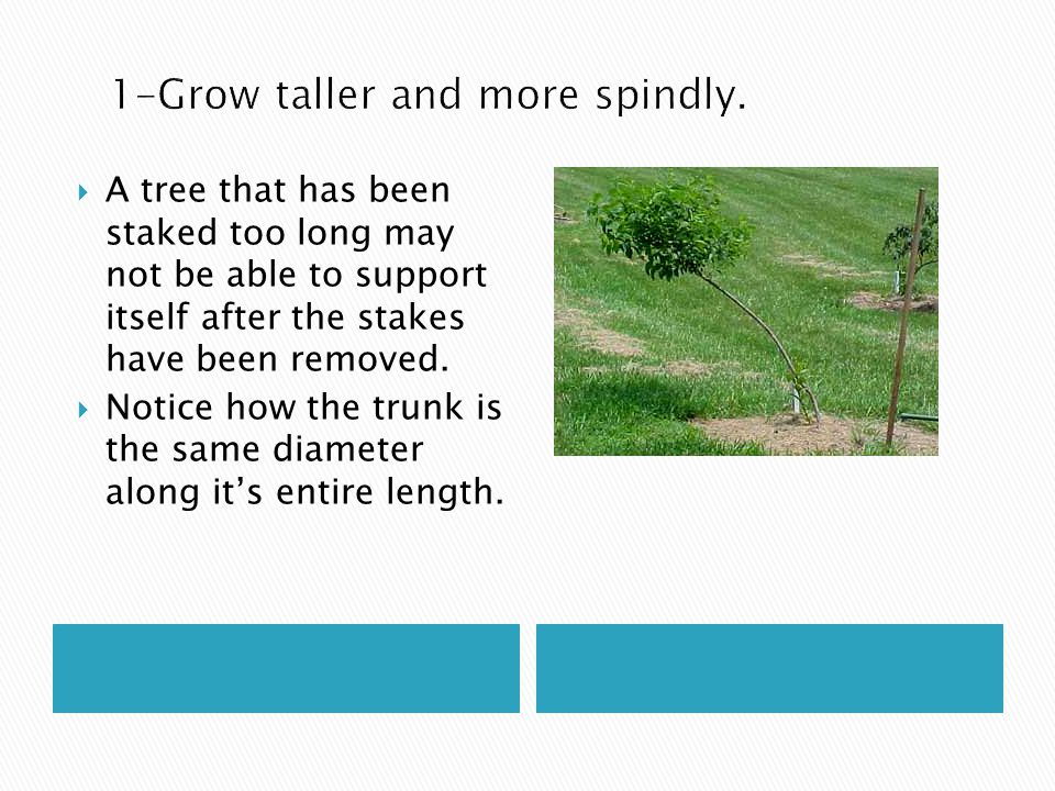  A tree that has been staked too long may not be able to support itself after the stakes have been removed.