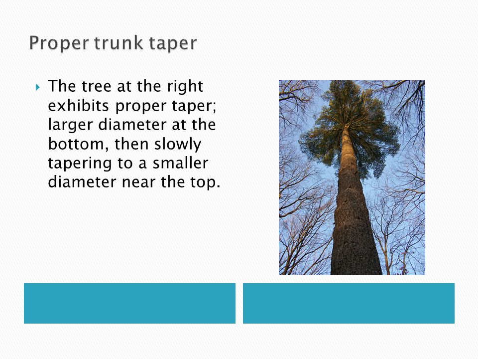  Reverse trunk taper may be a consequence of staking too long.
