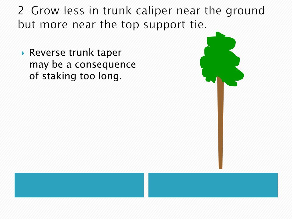  Research has shown that when trees are staked for too long their root systems may not be as extensive as they normally would be.