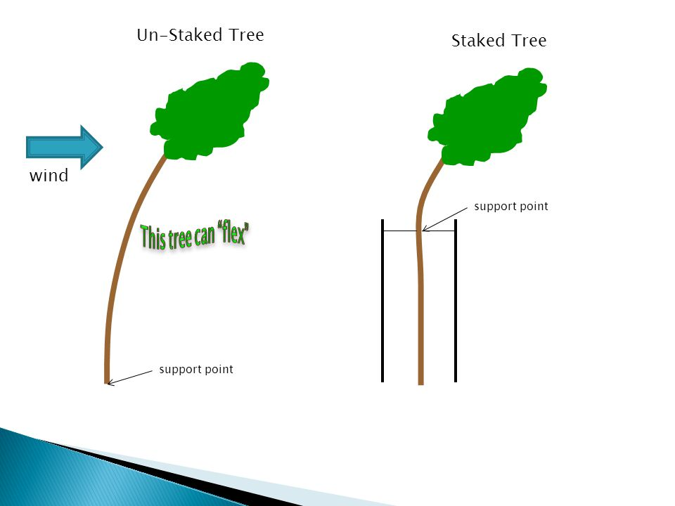 Un-Staked Tree Staked Tree support point wind