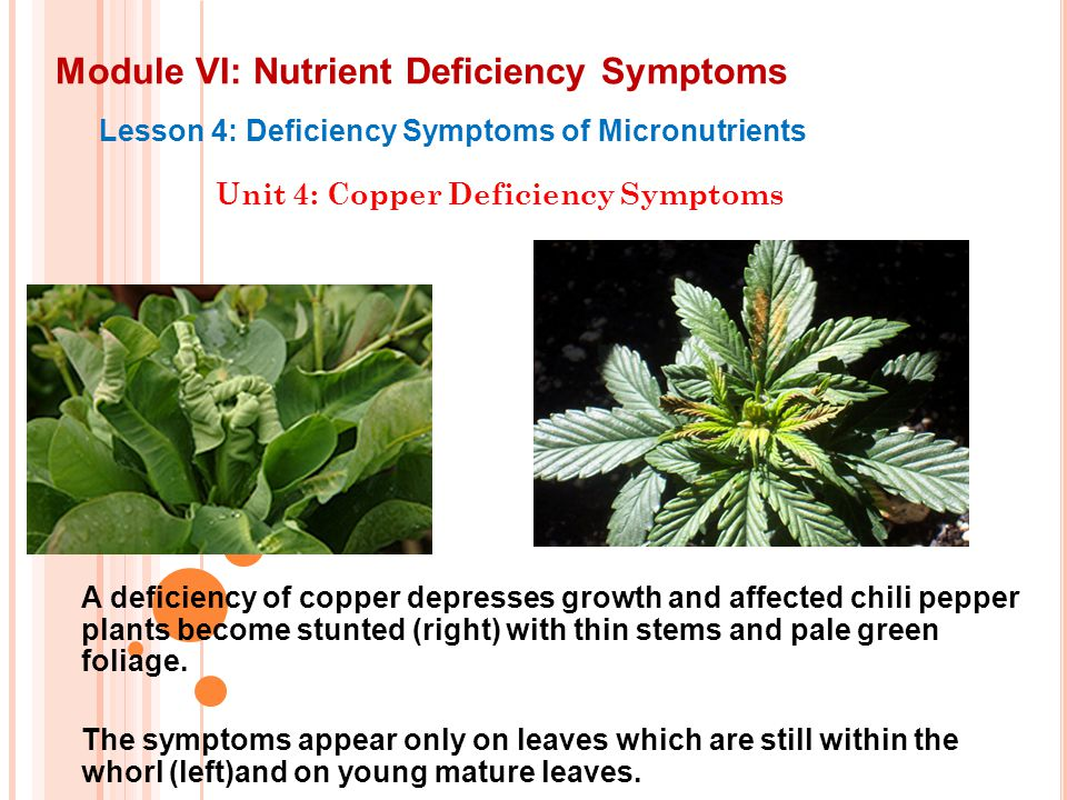 Module VI: Nutrient Deficiency Symptoms Lesson 4: Deficiency Symptoms of Micronutrients Unit 4: Copper Deficiency Symptoms A deficiency of copper depr