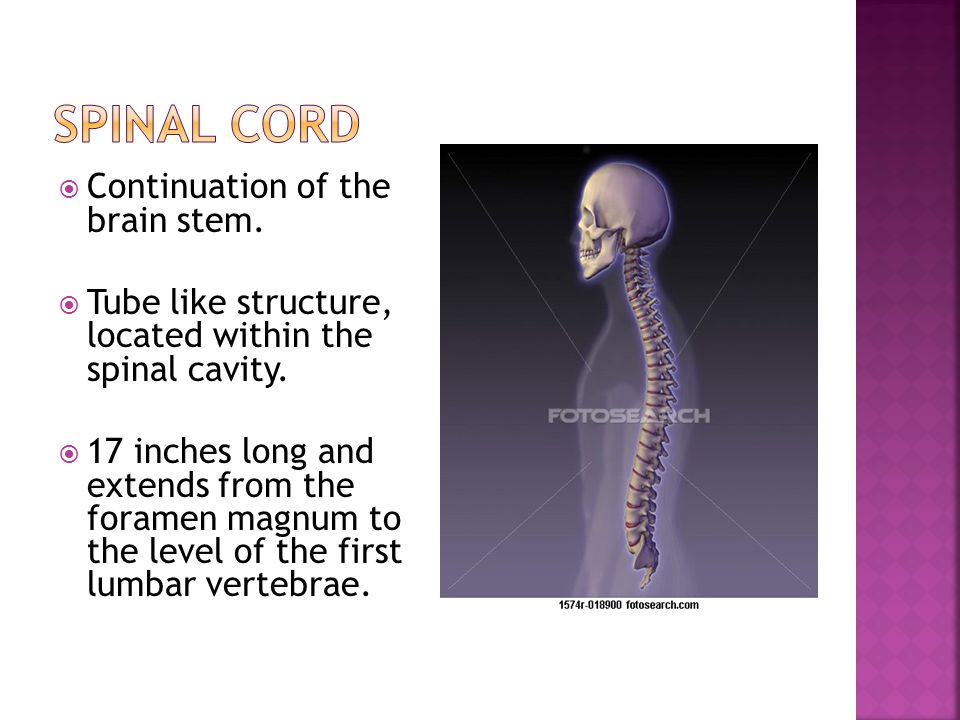  Lumbar puncture- a hollow needle is inserted into the subarachnoid space between L3 and L4.