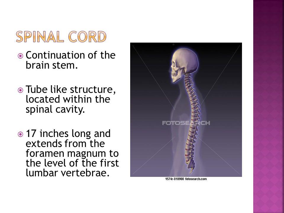  Reflex arc-nerve pathway involved in a reflex.