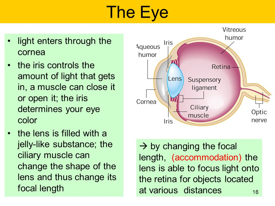 light enters through the cornea the iris controls the amount of light that gets in, a muscle can close it or open it; the iris determines your eye col