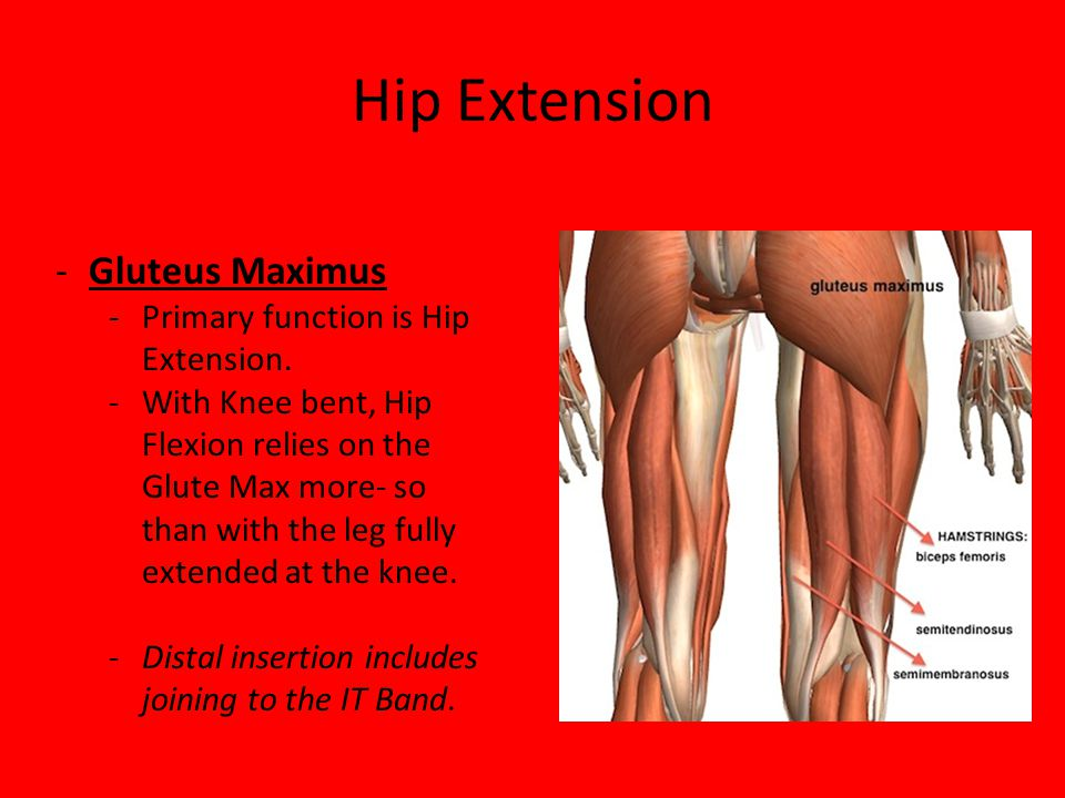 Hip Extension -Gluteus Maximus -Primary function is Hip Extension. -With Knee bent, Hip Flexion relies on the Glute Max more- so than with the leg ful