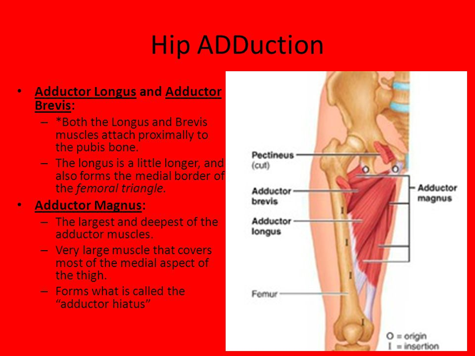 Hip ADDuction Adductor Longus and Adductor Brevis: – *Both the Longus and Brevis muscles attach proximally to the pubis bone. – The longus is a little