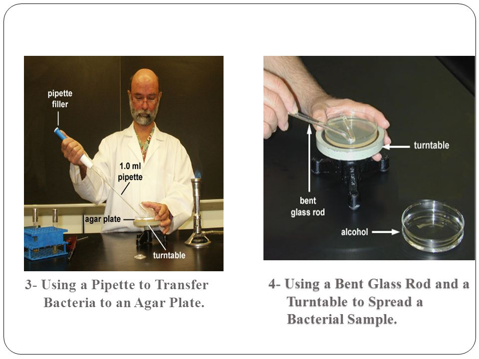 3- Using a Pipette to Transfer Bacteria to an Agar Plate. 4- Using a Bent Glass Rod and a Turntable to Spread a Turntable to Spread a Bacterial Sample