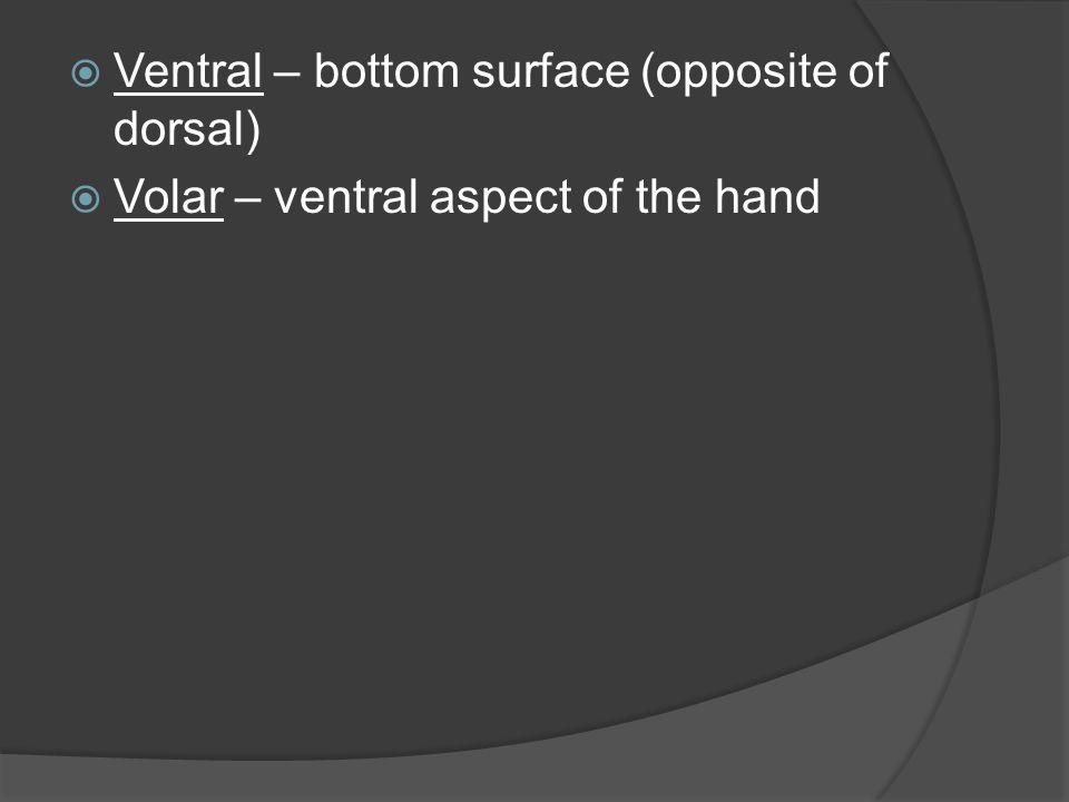  Ventral – bottom surface (opposite of dorsal)  Volar – ventral aspect of the hand