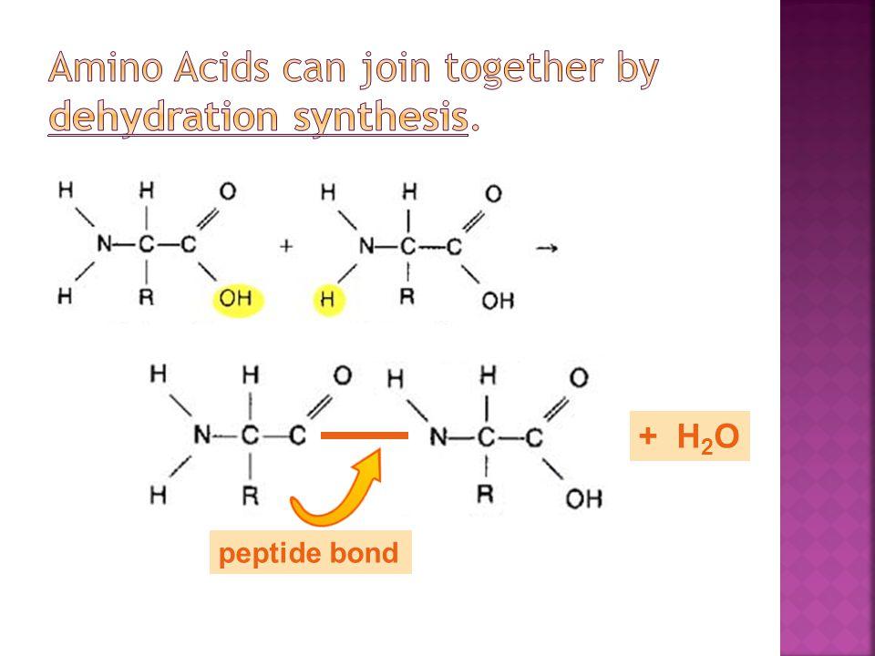peptide bond + H 2 O