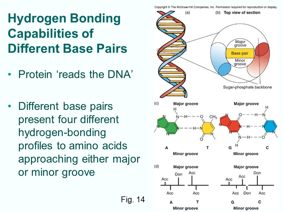 9-13 Hydrogen Bonding Capabilities of Different Base Pairs Protein 'reads the DNA' Different base pairs present four different hydrogen-bonding profiles to amino acids approaching either major or minor groove Fig.