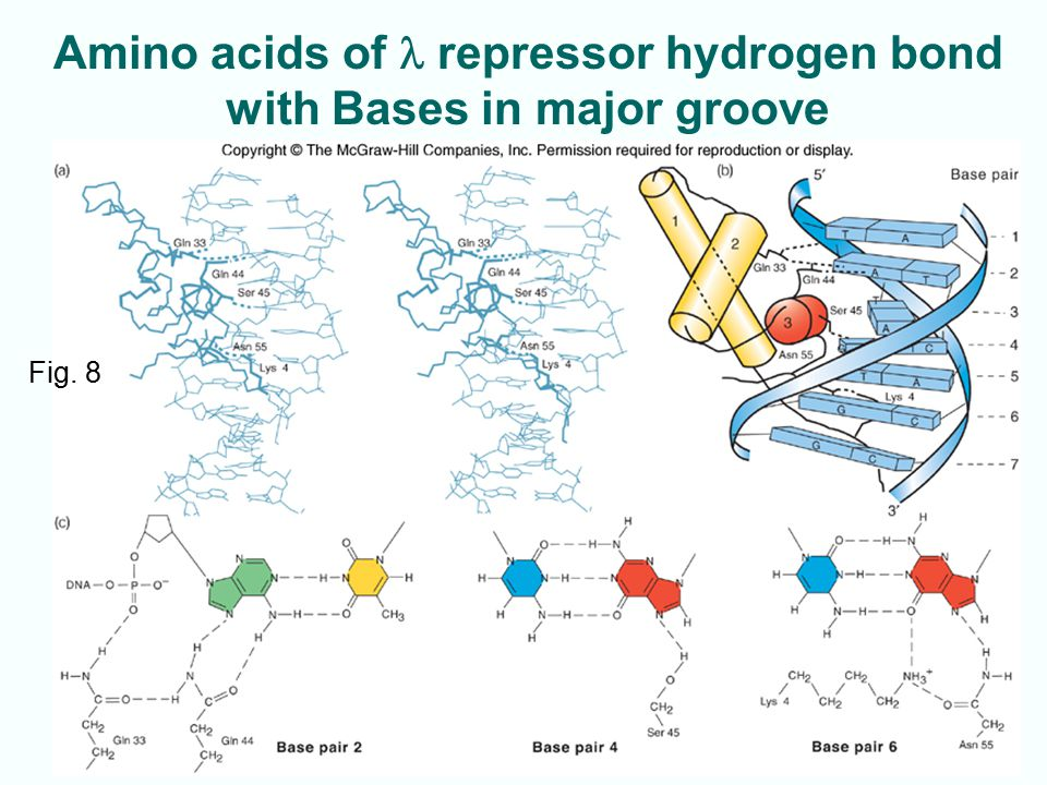 9-7 Amino acids of repressor hydrogen bond with Bases in major groove Fig. 8