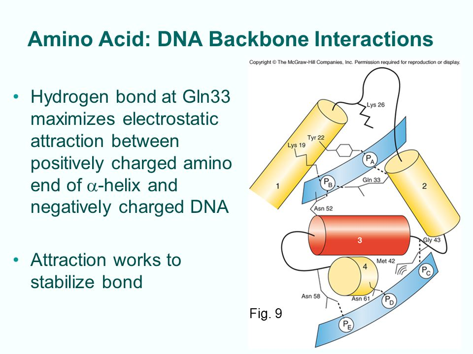9-8 Amino Acid: DNA Backbone Interactions Hydrogen bond at Gln33 maximizes electrostatic attraction between positively charged amino end of  -helix a