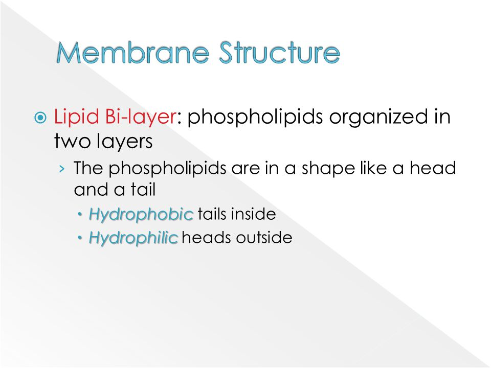  Lipid Bi-layer: phospholipids organized in two layers › The phospholipids are in a shape like a head and a tail  Hydrophobic  Hydrophobic tails in