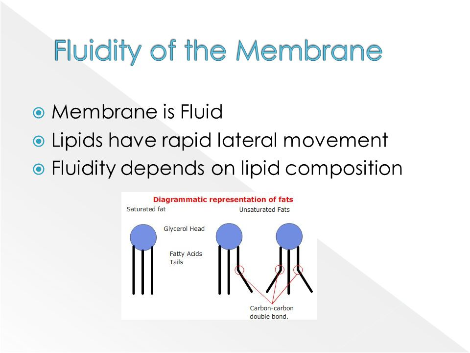  Membrane is Fluid  Lipids have rapid lateral movement  Fluidity depends on lipid composition
