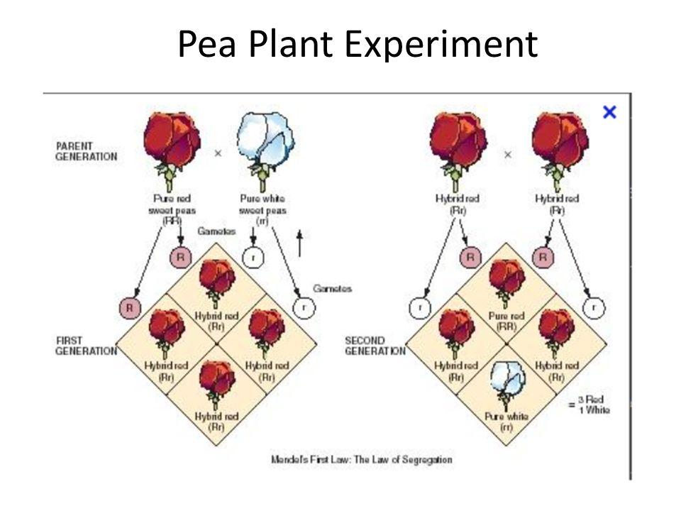Pea Plant Experiment