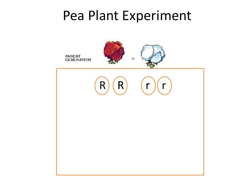 Pea Plant Experiment RRRrrr