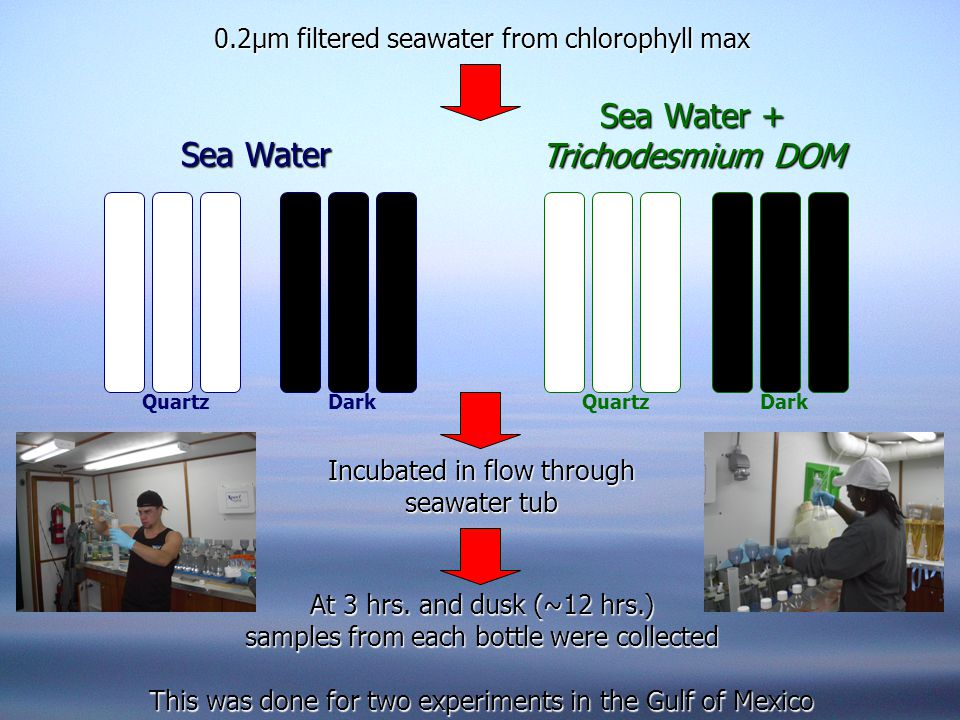 0.2µm filtered seawater from chlorophyll max Incubated in flow through seawater tub At 3 hrs.