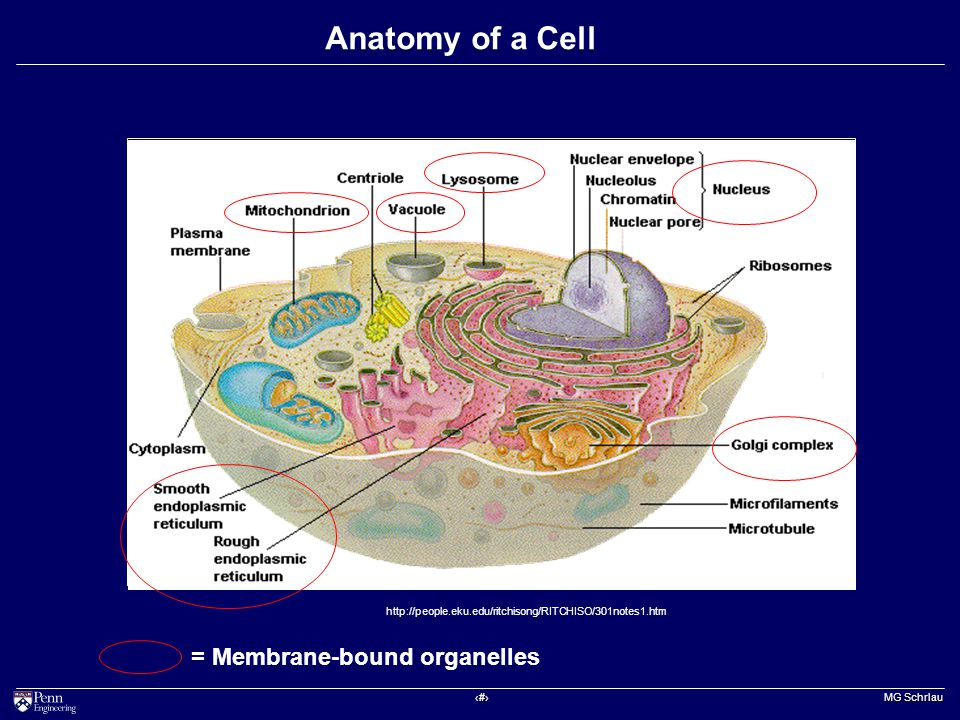 ‹#› MG Schrlau Anatomy of a Cell http://people.eku.edu/ritchisong/RITCHISO/301notes1.htm = Membrane-bound organelles