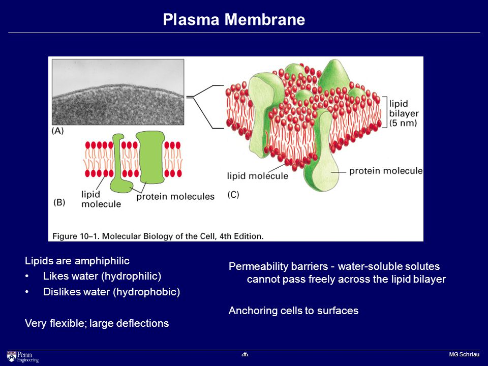 ‹#› MG Schrlau Plasma Membrane Permeability barriers - water-soluble solutes cannot pass freely across the lipid bilayer Anchoring cells to surfaces Lipids are amphiphilic Likes water (hydrophilic) Dislikes water (hydrophobic) Very flexible; large deflections