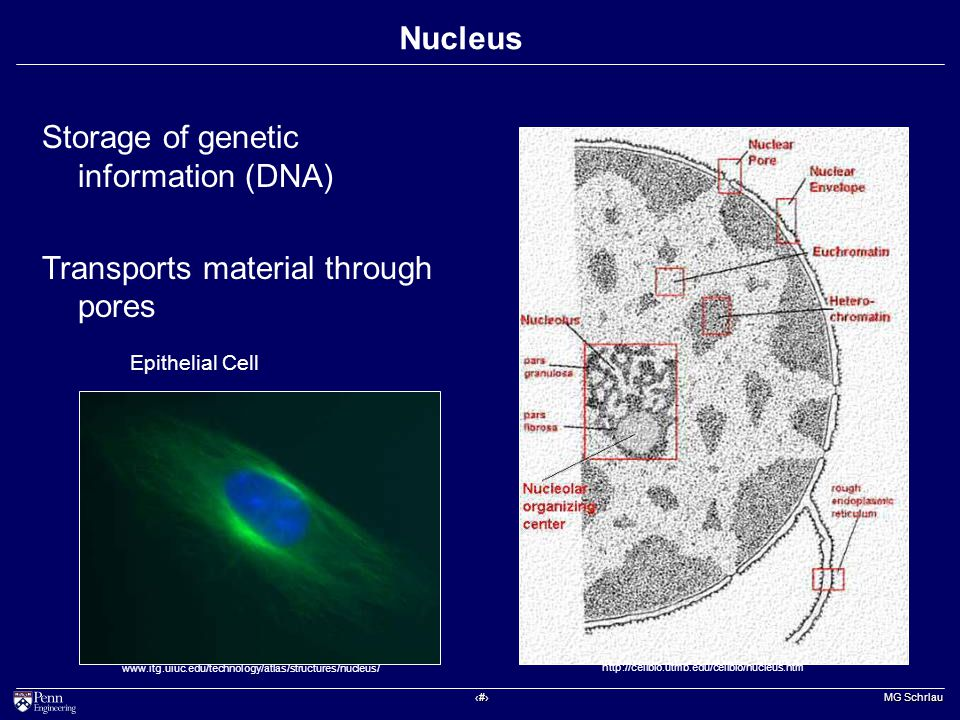 ‹#› MG Schrlau Nucleus http://cellbio.utmb.edu/cellbio/nucleus.htm www.itg.uiuc.edu/technology/atlas/structures/nucleus/ Storage of genetic information (DNA) Transports material through pores Epithelial Cell