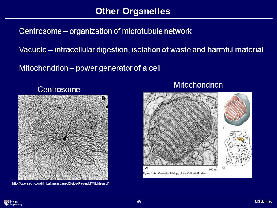 ‹#› MG Schrlau Other Organelles Centrosome – organization of microtubule network Vacuole – intracellular digestion, isolation of waste and harmful material Mitochondrion – power generator of a cell http://users.rcn.com/jkimball.ma.ultranet/BiologyPages/M/Mitchison.gif Centrosome Mitochondrion