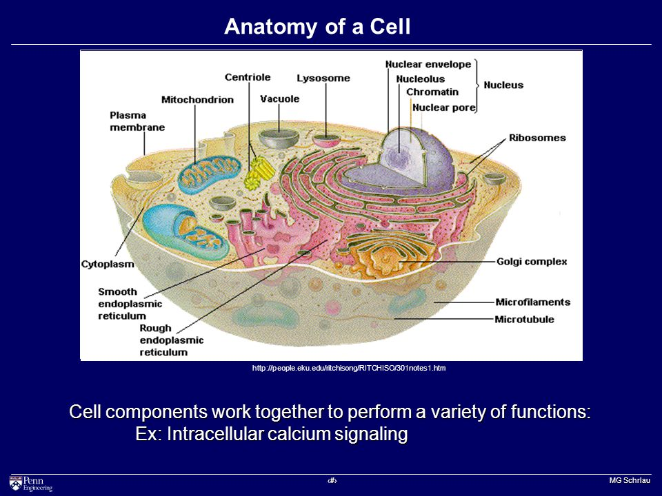 ‹#› MG Schrlau Anatomy of a Cell http://people.eku.edu/ritchisong/RITCHISO/301notes1.htm Cell components work together to perform a variety of functions: Ex: Intracellular calcium signaling