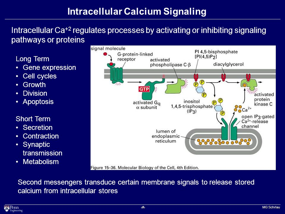 ‹#› MG Schrlau Intracellular Calcium Signaling Intracellular Ca +2 regulates processes by activating or inhibiting signaling pathways or proteins Second messengers transduce certain membrane signals to release stored calcium from intracellular stores Long Term Gene expression Cell cycles Growth Division Apoptosis Short Term Secretion Contraction Synaptic transmission Metabolism
