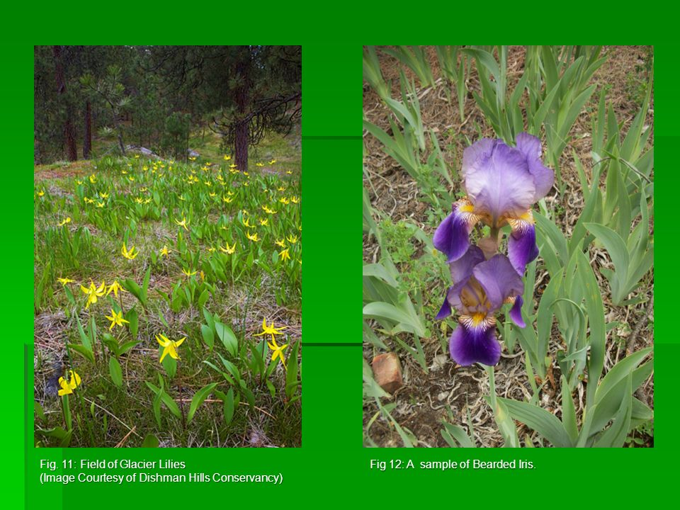 Fig. 11: Field of Glacier Lilies (Image Courtesy of Dishman Hills Conservancy) Fig 12: A sample of Bearded Iris.