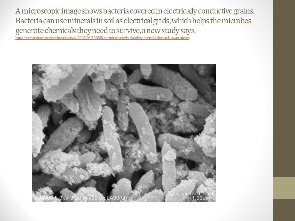 A microscopic image shows bacteria covered in electrically conductive grains.