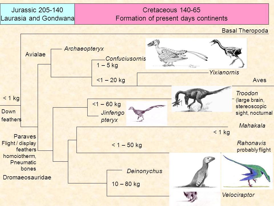 Jurassic 205-140 Laurasia and Gondwana Cretaceous 140-65 Formation of present days continents Basal Theropoda Archaeopteryx Confuciusornis Yixianornis Jinfengo pteryx Rahonavis probably flight Troodon (large brain, stereoscopic sight, nocturnal Mahakala Deinonychus Velociraptor Aves Paraves Flight / display feathers homoiotherm, Pneumatic bones 10 – 80 kg < 1 – 50 kg 1 – 5 kg < 1 kg <1 – 60 kg <1 – 20 kg < 1 kg Down feathers Dromaeosauridae Avialae
