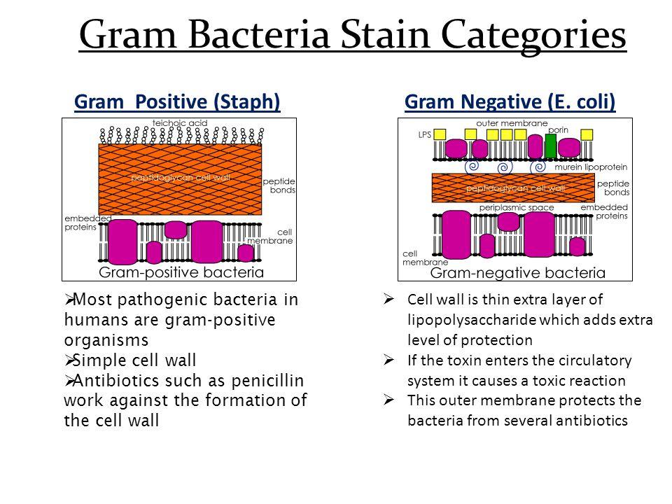 Gram Bacteria Stain Categories Gram Positive (Staph)Gram Negative (E.