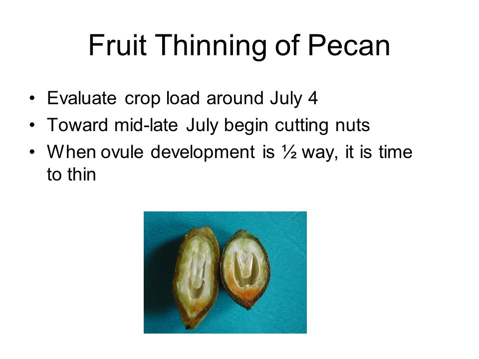 Fruit Thinning of Pecan Evaluate crop load around July 4 Toward mid-late July begin cutting nuts When ovule development is ½ way, it is time to thin