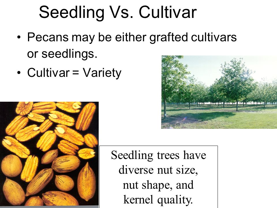 Seedling Vs. Cultivar Pecans may be either grafted cultivars or seedlings. Cultivar = Variety Seedling trees have diverse nut size, nut shape, and ker