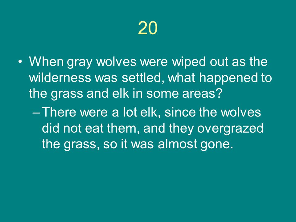20 When gray wolves were wiped out as the wilderness was settled, what happened to the grass and elk in some areas? –There were a lot elk, since the w
