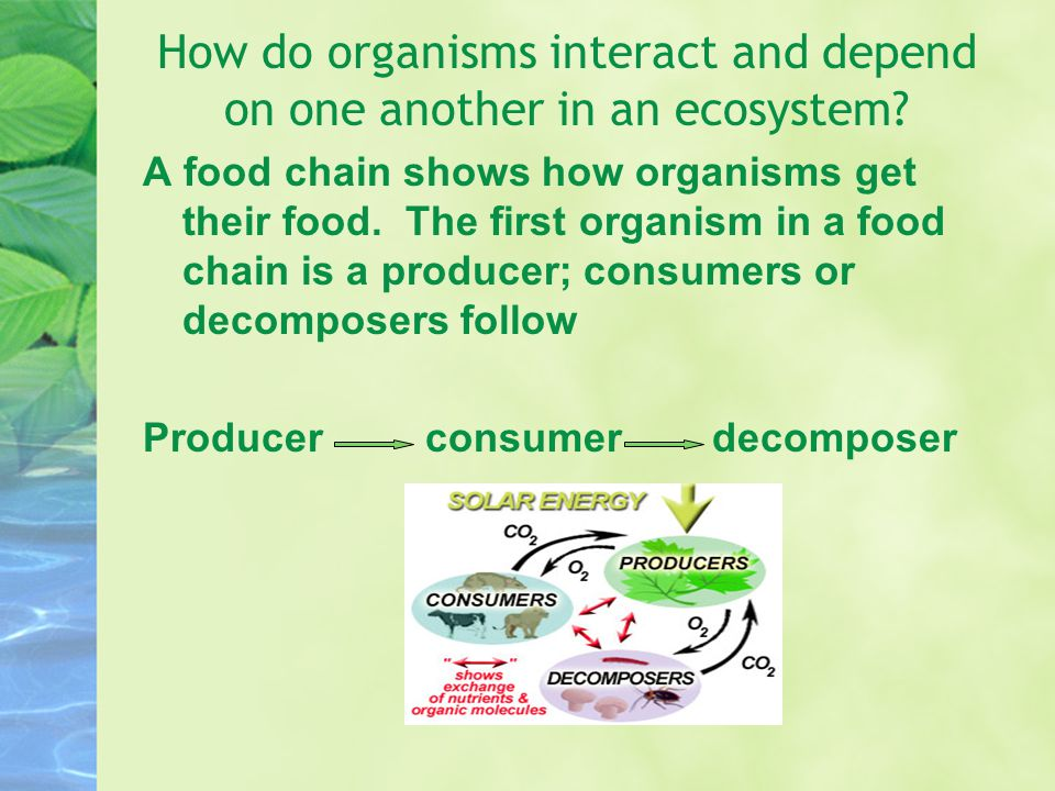 How do organisms interact and depend on one another in an ecosystem? A food chain shows how organisms get their food. The first organism in a food cha