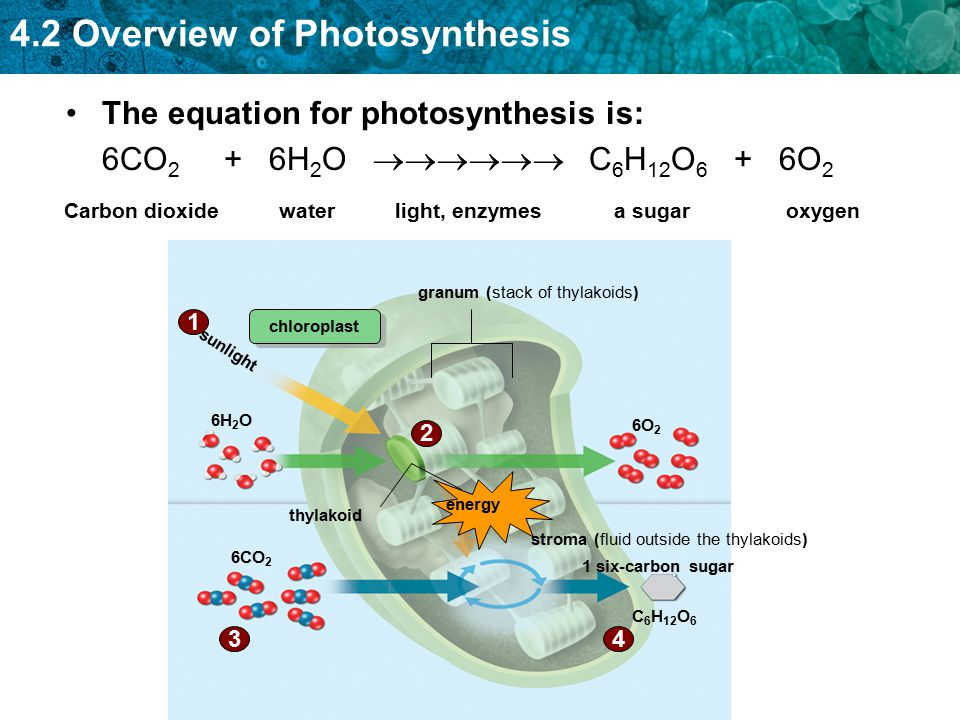 4.2 Overview of Photosynthesis The equation for photosynthesis is: 6CO 2 + 6H 2 O  C 6 H 12 O 6 + 6O 2 C 6 H 12 O 6 granum (stack of thylakoids)