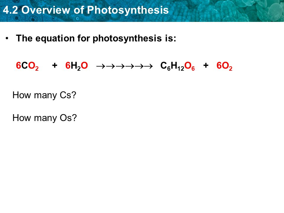4.2 Overview of Photosynthesis The equation for photosynthesis is: 6CO 2 + 6H 2 O  C 6 H 12 O 6 + 6O 2 How many Cs? How many Os?