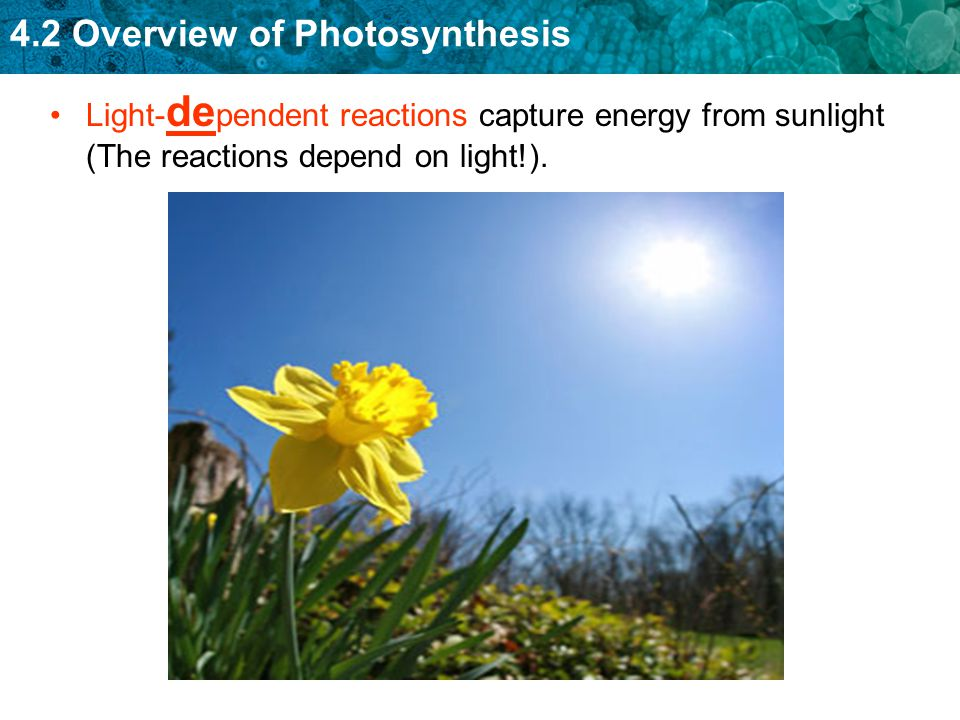 4.2 Overview of Photosynthesis Light- de pendent reactions capture energy from sunlight (The reactions depend on light!).