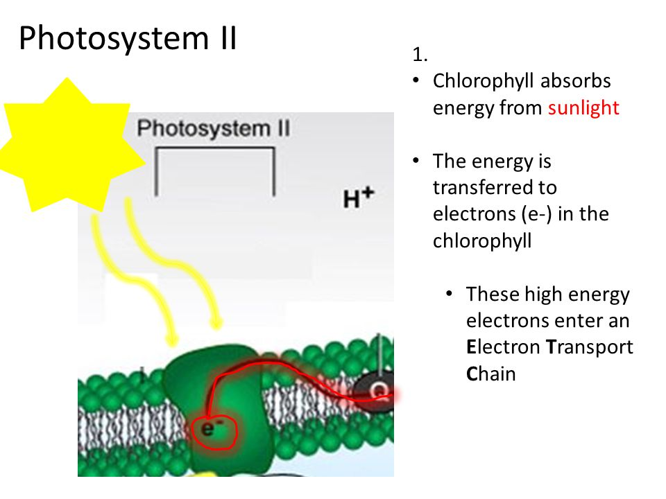 1. Chlorophyll absorbs energy from sunlight The energy is transferred to electrons (e-) in the chlorophyll These high energy electrons enter an Electr