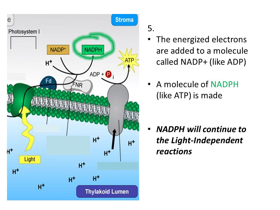 5. The energized electrons are added to a molecule called NADP+ (like ADP) A molecule of NADPH (like ATP) is made NADPH will continue to the Light-Ind