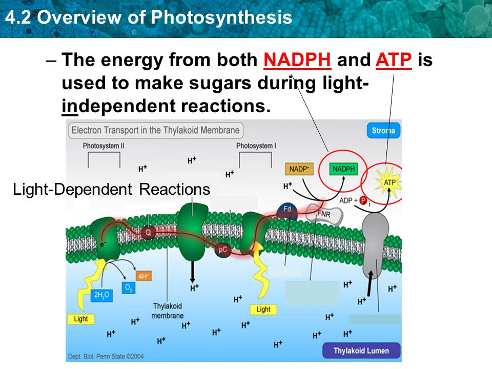 4.2 Overview of Photosynthesis –The energy from both NADPH and ATP is used to make sugars during light- independent reactions. Light-Dependent Reactio