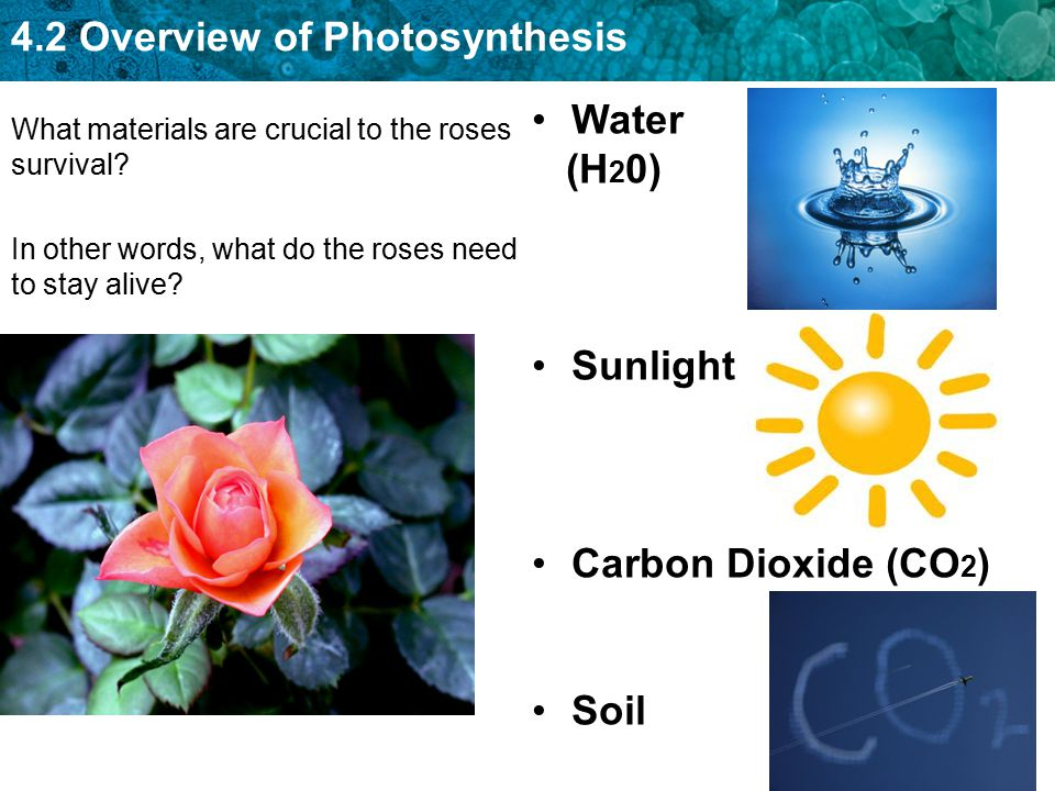 4.2 Overview of Photosynthesis What materials are crucial to the roses survival? In other words, what do the roses need to stay alive? Water (H 2 0) S