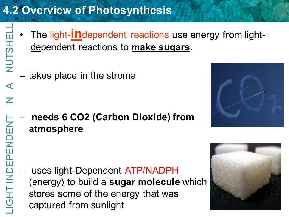4.2 Overview of Photosynthesis The light- in dependent reactions use energy from light- dependent reactions to make sugars. –takes place in the stroma