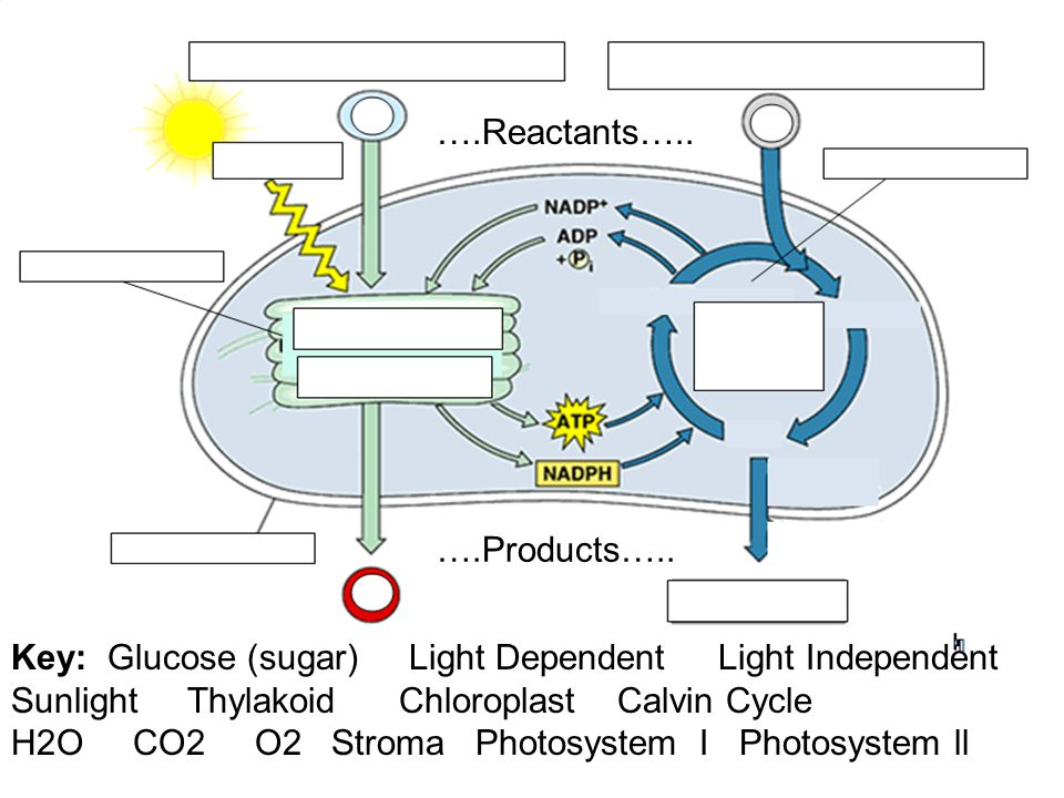 4.2 Overview of Photosynthesis Key: Glucose (sugar) Light Dependent Light Independent Sunlight Thylakoid Chloroplast Calvin Cycle H2O CO2 O2 Stroma Ph