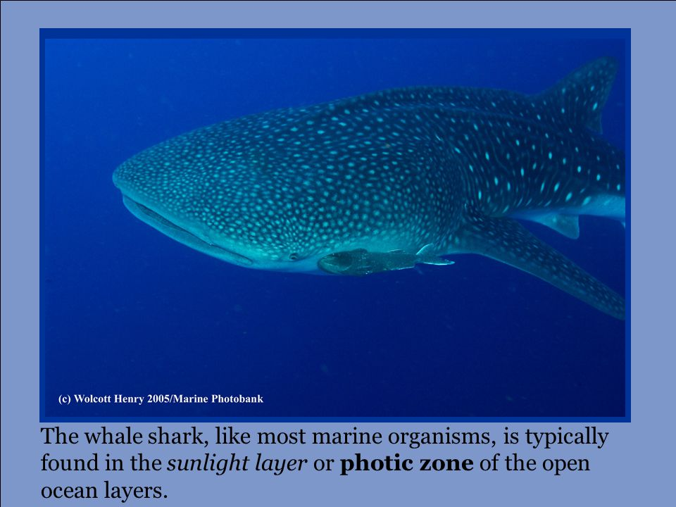 The whale shark, like most marine organisms, is typically found in the sunlight layer or photic zone of the open ocean layers.