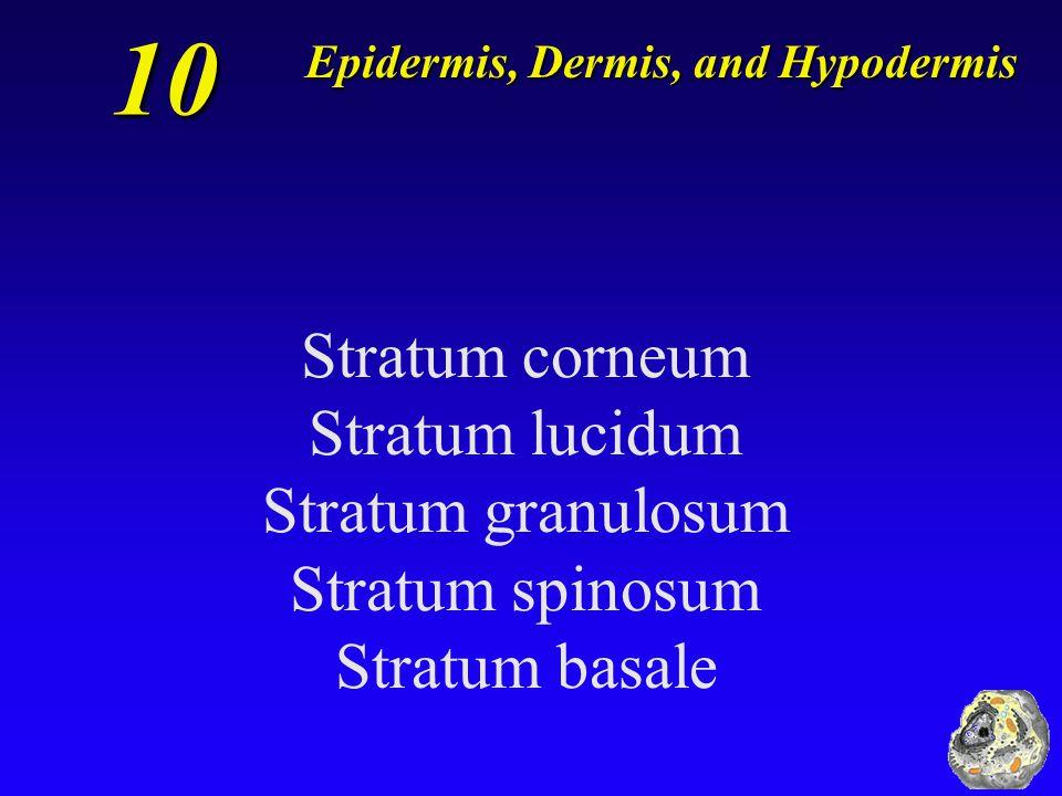 10 Stratum corneum Stratum lucidum Stratum granulosum Stratum spinosum Stratum basale Epidermis, Dermis, and Hypodermis